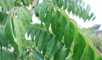 Curry Tree Leaves