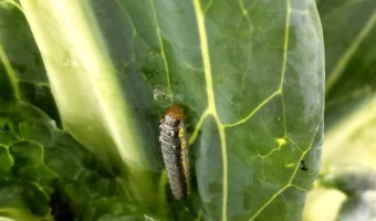 Cross Striped Cabbageworm