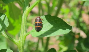 Two Lined Spittle Bug