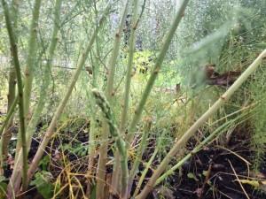 Asparagus_small